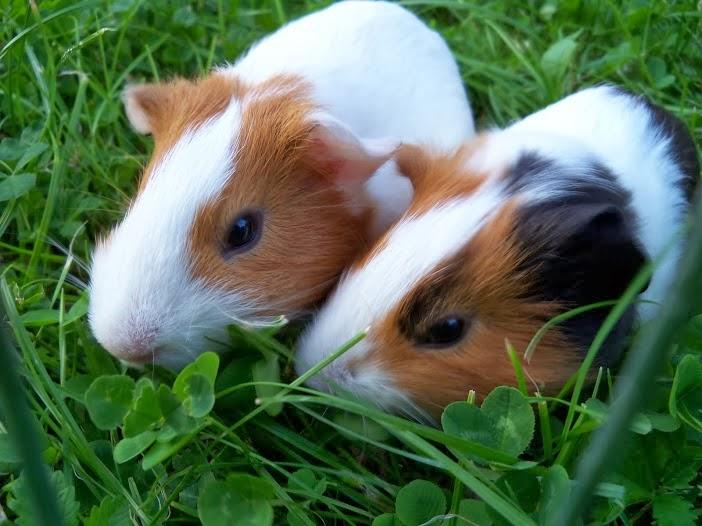 Benessere animale: una cavia per amica